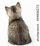 Stock photo kitten is back scottish kitten 444836272