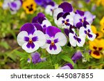 pansy viola   Shutterstock . vector #445087855