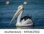 Pelican Off Rottnest Island ...