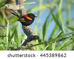 A Male Red Backed Fairy Wren ...