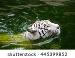 White Tiger In Pool Select...
