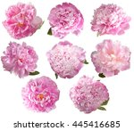 Set of 8 pink peony isolated on ...