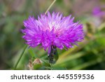 Small photo of Amberboa, is a genus of herbaceous plants of the Aster family (Asteraceae).