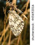 Beautiful Butterfly Melanargia...