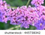 Violet Flowers Of Verbena...