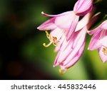 Detail Of Blooming Hosta  June