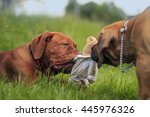 Stock photo boerboel a dogue de bordeaux puppy playing on grass 445976326
