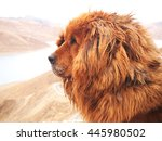 close up of tibetan mastiff in... | Shutterstock . vector #445980502