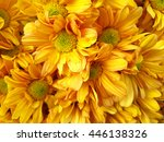 Golden Chrysanthemum  Daisy ...