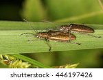 common reed beetle  donacia... | Shutterstock . vector #446197426