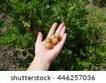 berries of gooseberry on a... | Shutterstock . vector #446257036