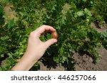 female hand holding berries... | Shutterstock . vector #446257066