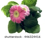 gerbera daisies isolated on the ...   Shutterstock . vector #446324416