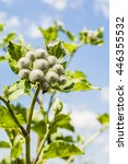 Arctium Tomentosum Is A Species ...