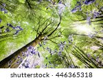 Bluebells Viewed From A Worms...