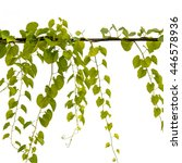 ivy tree isolate white color... | Shutterstock . vector #446578936