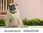 fat pug dog sitting on marble...   Shutterstock . vector #446635546