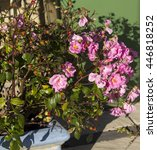 Small photo of An heirloom rose , beautiful trusses of pretty candy pink, fragrant semi-double blooms on a strong growing plant add a touch of color to a drab winter garden.