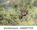 eurasian wren | Shutterstock . vector #446857705