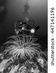 Small photo of Mediterranean Sea, diver and a big Cerianthus (actinia) - FILM SCAN