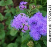 Small photo of Purple blue ageratum flowers