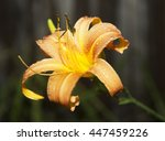 Single Orange Daylily In A...