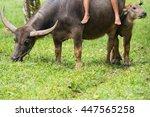 buffalo herder with buffalo calf | Shutterstock . vector #447565258
