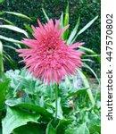 Small photo of Gerbera , Barberton daisy,African Daisy , Transvaal Daisy.Gerbera jamesonii.