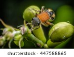 Close Up Velvet Ant  Mutillidae ...