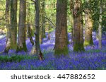 Bluebells At The Forest Of Dea...
