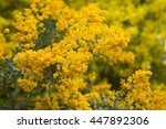 Small photo of blossoming yellow branches of acacia howittii tree