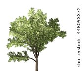 robinia tree isolated on white