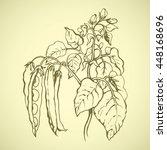 ripe bio raw fresh long husk... | Shutterstock .eps vector #448168696