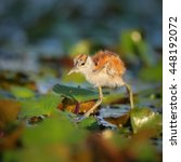 Small photo of African jacana chick walking on lily leaves on river, Botswana