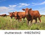 cows grazing on pasture | Shutterstock . vector #448256542