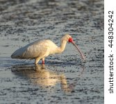 Small photo of African spoonbill hunting for food in river, South Africa