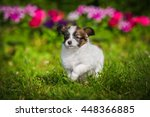Stock photo little papillon puppy playing in the garden 448366885