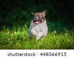 Stock photo happy papillon puppy running in the garden 448366915