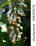 Small photo of Shell Ginger Latin name Alpinia zerumbet flowers