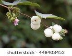 symphoricarpos albus laevigatus ... | Shutterstock . vector #448403452