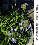 Small photo of Blooming agapanthus plant, Los Angeles CA