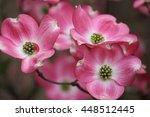 Dogwood Tree In Bloom In...