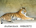 A Beautiful Tiger Lying Down