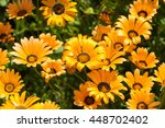 Yellow African Daisies  Summer...