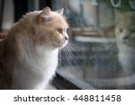 Stock photo bored cat looking out the window 448811458