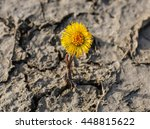 New Flower  Coltsfoot  On...