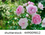 Stock photo beautiful pink rose in a garden on green background 449009812
