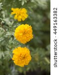 Small photo of Marigolds flower (Tagetes erecta, Mexican marigold, Aztec marigold, African marigold)