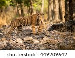 tiger female looks towards... | Shutterstock . vector #449209642