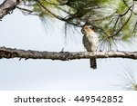 Extremely rare Mauritian Kestrel (Falco punctatus), perched on a horizontal pine tree branch, facing the camera. Photographed against a slightly cloudy blue sky.